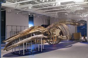 squelette d'un rorqual bleu - M. Lipman, MCN