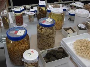 Spécimens en préparation pour l'exposition