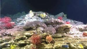 Un fond rocheux peuplé de diverses éponges (Porifera), de coraux mous appartenant au genre Anthomastus, ainsi que d'une étoile mer Brisingida avec ses nombreux bras (Asteroidea: Brisingida). (Bonnet flamand, plongée 3)