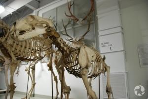 Squelette d'ours blanc, Ursus maritimus.