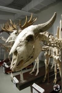 Crâne et squelette d'un bison d'Amérique, Bison bison.