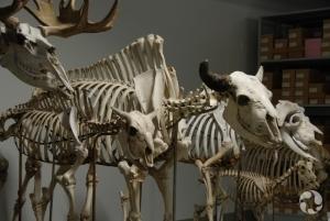 Squelettes d'orignal, Alces americanus; de bison, Bison bison; et de boeuf musqué, Ovibos moschatus, de nos réserves.