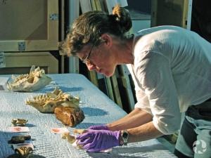 Carolyn Leckie examine une série de crânes d'animaux.