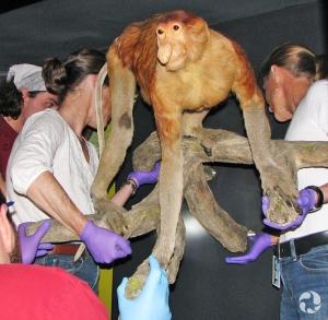 Quatre personnes transportent un spécimen pour le mettre dans une vitrine.