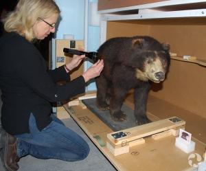Luci Cipera examine la fourrure d'un spécimen d'ours à lunettes, Tremarctos ornatus.