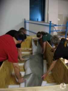 Des gens sortent un modèle grandeur nature d'Ambulocetus d'une caisse en bois.