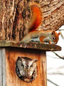 Un écureuil roux, Tamiasciurus hudsonicus, sur le toit d'un nichoir où se trouve un Petit-duc maculé, Megascops asio.