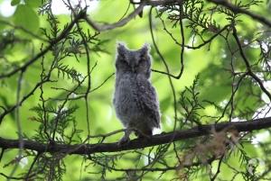 Un Petit-duc maculé, Megascops asio, juvénile perché dans un arbre.