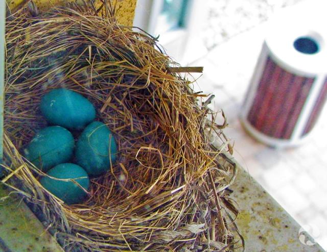 Quatre oeufs dans le nid d'un Merle d'Amérique, Turdus migratorius, situé sur le rebord d'une fenêtre.