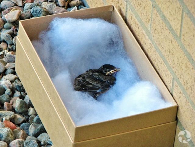 Un jeune Merle d'Amérique  assis dans de la ouate dans une boîte en carton.