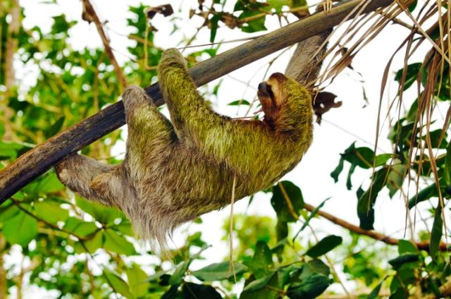 Un paresseux se déplace dans un arbre, suspendu à une branche par les pattes avant et arrière.