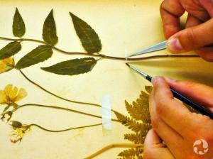 Gros plan des mains de Marion maniant des pinces et un pinceau sur une bandelette de papier japonais, alors qu'elle rattache la tige d'une plante à une page.