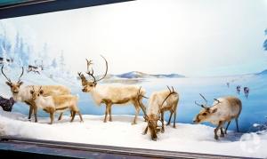 Spécimens de caribous des bois, Rangifer tarandus caribou, dans un diorama au Musée canadien de la nature.