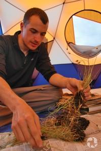 Un scientifique utilise de vieux journaux pour presser des échantillons de linaigrette, Eriophorum sp., sous une tente dans l'Arctique.