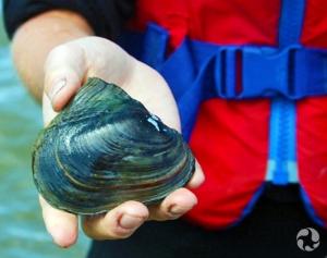 Une moule adulte de l'espèce potamile ailé, Potamilus alatus, dans la main d'une femme.