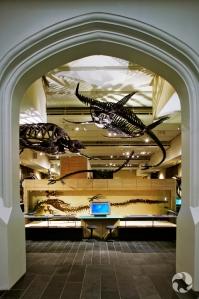 Des fossiles, incluant un squelette de plésiosaure à long cou, sont accrochés au plafond de la Galerie des fossilesTalisman Energy.