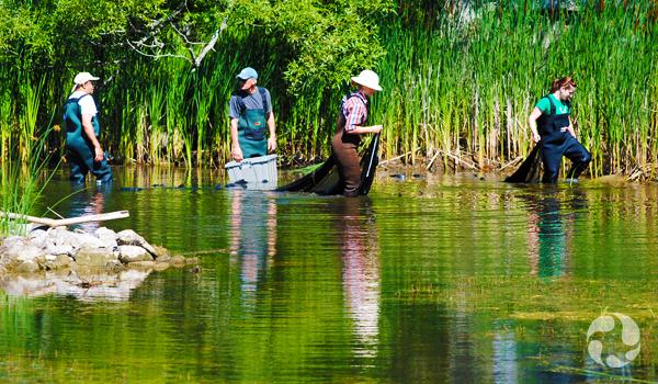 Quatre personnes marchant dans un cours d'eau en transportant l'équipement nécessaire pour attraper des poissons vivants.
