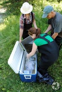 La technicienne des animaux vivants du Musée, Angela Desjardins (à l'avant) supervise le transfert des poisons capturés dans les glaciaires remplies d'eau froide. Emma Lehmberg et Clayton Kennedy, un employé du Musée, transfèrent les poissons. Image : Marc Beck © Musée canadien de la nature