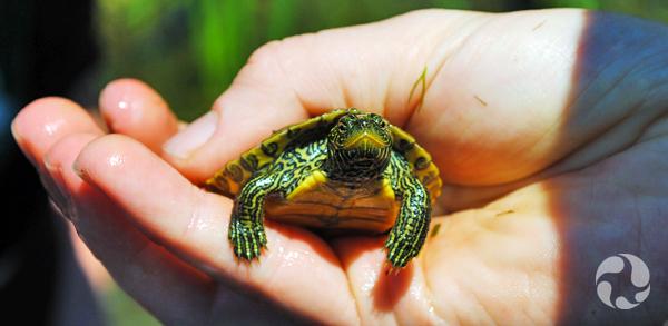 Une personne tient dans ses mains une jeune tortue.