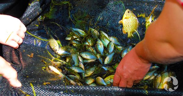 Des poissons vivants au fond d'un filet de pêche.