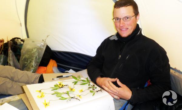 Assis à l'intérieur d'une tente, Roger Bull prépare des spécimens d'arnica de Griscom, Arnica griscomii, sur une feuille de papier.