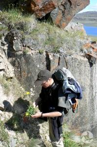 Roger Bull cueille un spécimen d'arnica à feuilles étroites, Arnica angustifolia, dans les crevasses d'une paroi rocheuse.