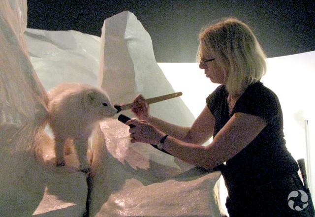 Une conservatrice du Musée nettoie un renard arctique naturalisé (Vulpes lagopus) à l'aide d'une brosse.