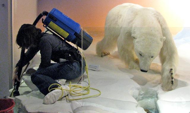 Un membre du personnel passe l'aspirateur sur le sol d'un diorama.
