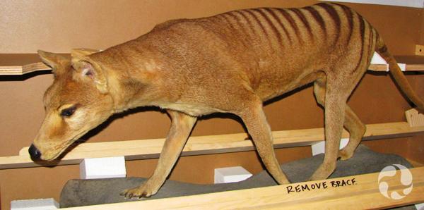 Un loup de Tasmanie naturalisé, Thylacinus cynocephalus, dans sa caisse de transport.