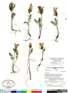 Une page d'herbier contenant sept spécimens de pédiculaire capitée, Pedicularis capitata, séchés et des notes.