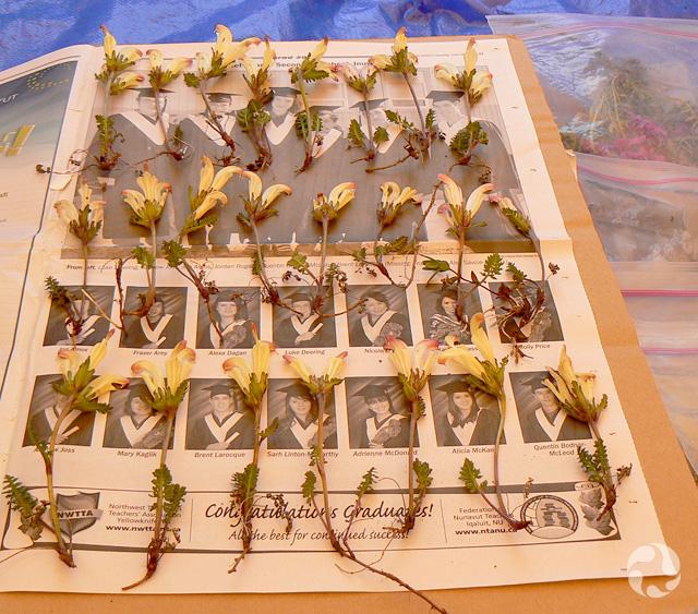 Des spécimens de pédiculaire capitée, Pedicularis capitata, disposés en rangée sur une feuille de papier journal.