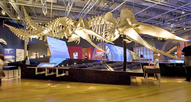 Vue de deux squelettes articulés de grand cachalot, Physeter catodon, dans l'exposition Baleines Tohorā.