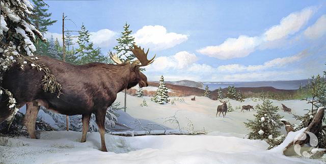 Le diorama de l'orignal, Alces americanus, dans la galerie des mammifères du Musée.
