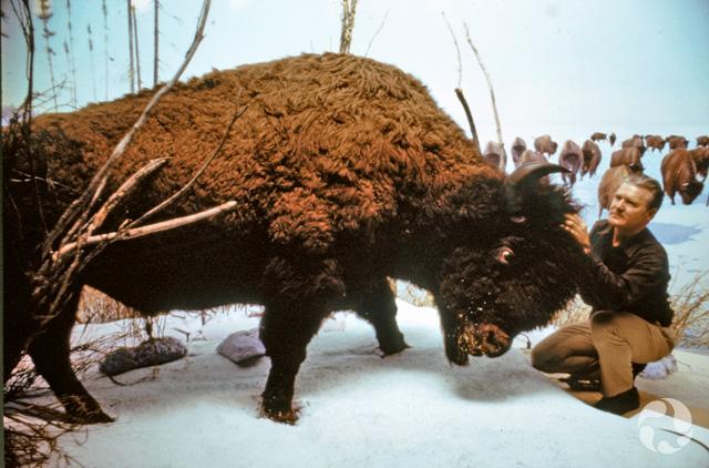 Clarence Tillenius accroupit devant un bison, Bison bison, naturalisé, dans un diorama du Musée, probablement dans les années 1960.