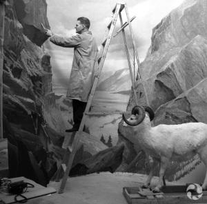 Clarence Tillenius dans un escabeau, peignant le décor d'un diorama au Musée. Photo d'archives : CMN J 8468 8.