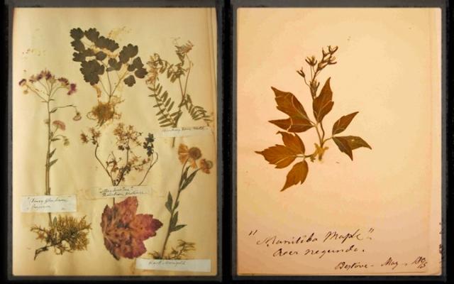 Collage de deux photos : une page d'herbier comportant plusieurs plantes et feuilles séchées, et une page d'herbier comportant des feuilles, fleurs et fruits d'un érable à Giguère, Acer negundo.