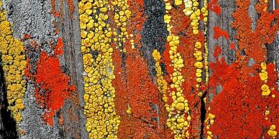 Lichens crustacés sur schiste.