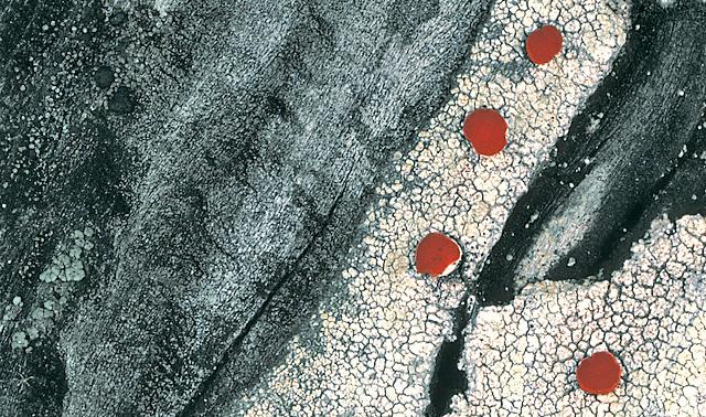 Ophioparme du Pacifique, Ophioparma rubricosa.