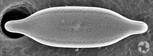 Une diatomée, Neidium staturaium.