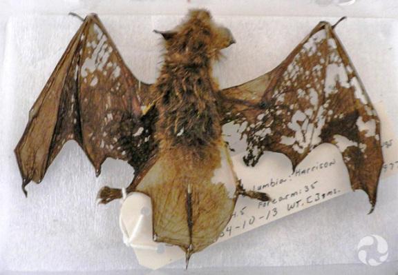 Un spécimen de chauve-souris de l'espèce Myotis yumanenesis endommagé par des parasites.