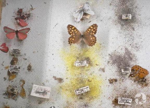 Des spécimens de papillons épinglés sur un carton sont partiellement ou presque totalement ravagés par des parasites.