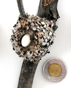 Nid et oeuf de Colibri à gorge rubis, Archilochus colubris. Une pièce de 2$ est disposée près du nid, en guise d'échelle.