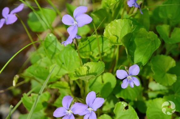 Des violettes cucullées, Viola cucullata.