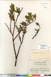 Une page de l'Herbier national du Canada présentant un spécimen de Salix planifolia séché et des étiquettes d'identification.
