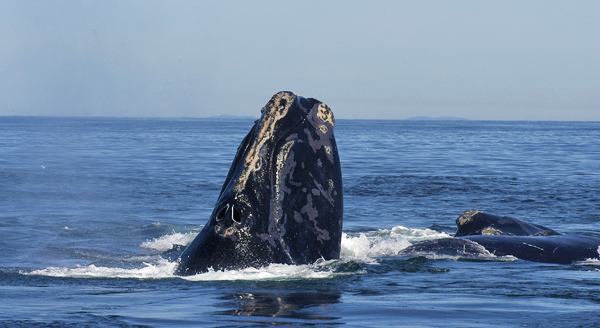 La tête d'une baleine noire de l'Atlantique Nord, Eubalaena glacialis, sortant de l'eau à côté du dos d'une autre baleine.