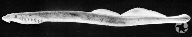 Une lamproie de l'espèce Lethenteron alaskense.