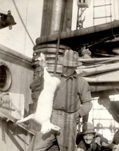 Un homme debout sur un navire, tenant un lièvre arctique mort, Lepus arcticus. Photo d'archives : CMNAC 61028.
