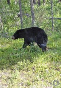 Un ours noir courant devant des arbres.