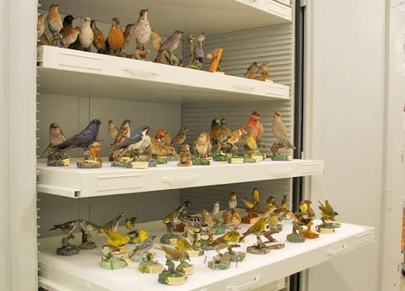 Des spécimens d'oiseaux naturalisés et montés sur des socles, disposés sur les tablettes d'une armoire