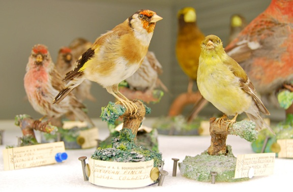 Des spécimens d'oiseaux naturalisés et montés sur des socles : Roselin pourpré, Carpodacus pupureus, le Chardonneret élégant, Carduelis carduelis, et Chardonneret jaune, Spinus tristis.